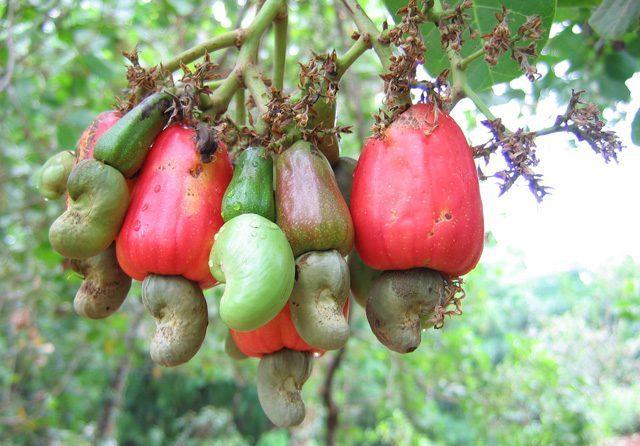 Cashewnüsse für Papageien & Sittiche