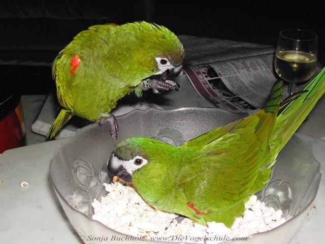 Rotes Palmöl mit Popcorn schmeckt Papageien & Sittichen