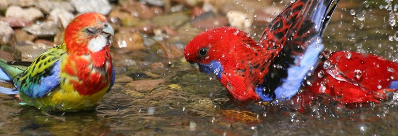 Papageien Badewanne – So macht plantschen deinem Vogel Spaß!