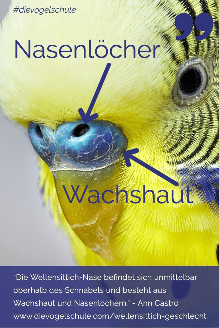 Wellensittich-Geschlecht - Die Nase: Wachshaut und Nasenlöcher