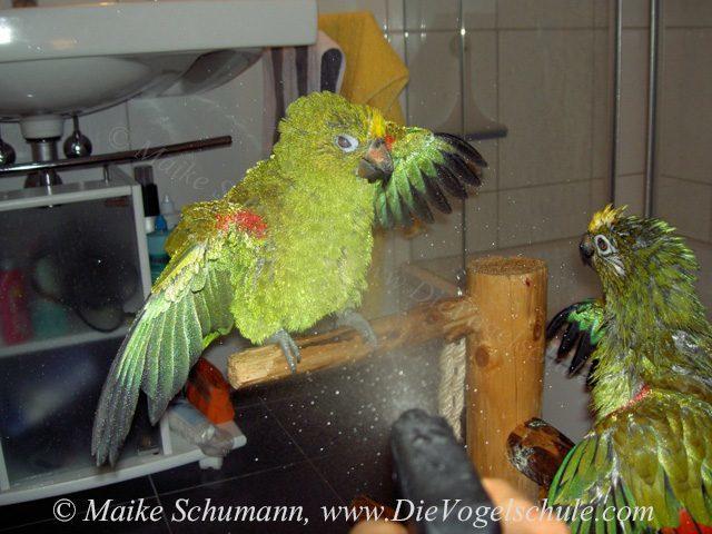 Duschende Amazonen Papageien