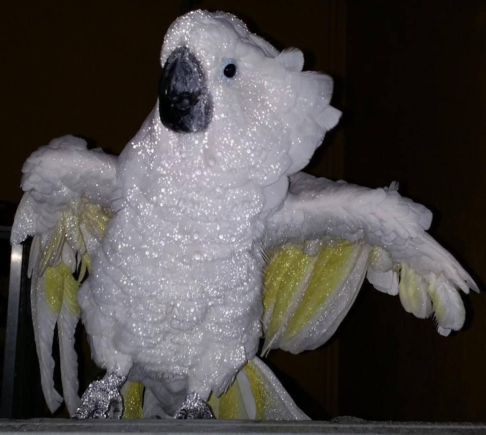 Duschender Weißhaubenkakadu