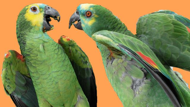 Beißen & Aggressionen bei Papageien & Sittichen  <u>... mehr</u>