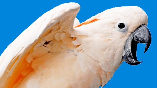 Schreien & Kreischen bei Papageien & Sittichen  <u>... mehr</u>