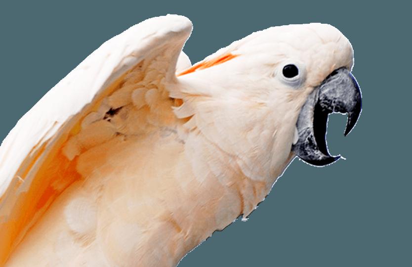 Schreien & Kreischen bei Papageien & Sittichen - Kakadu