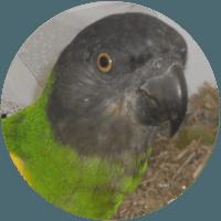 mohrenkopf papagei sittich training