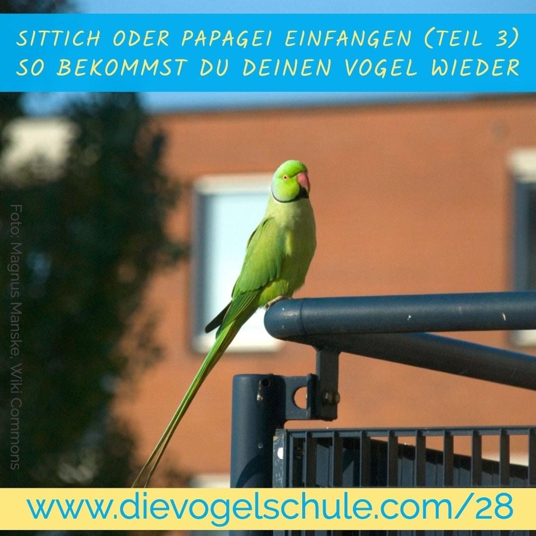 Papagei einfangen Halsbandsittich