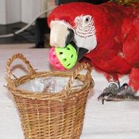 Ara Papagei beim Basketball Spielen - Apportieren Papageien Sittiche