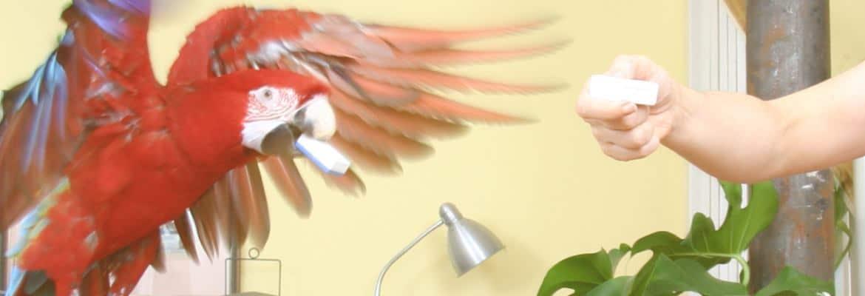 Ara apportiert fliegend - Apportieren für Papageien & Sittichen