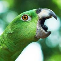 Schreien bei Papageien & Sittichen Amazone schreien abgewöhnen FIMG