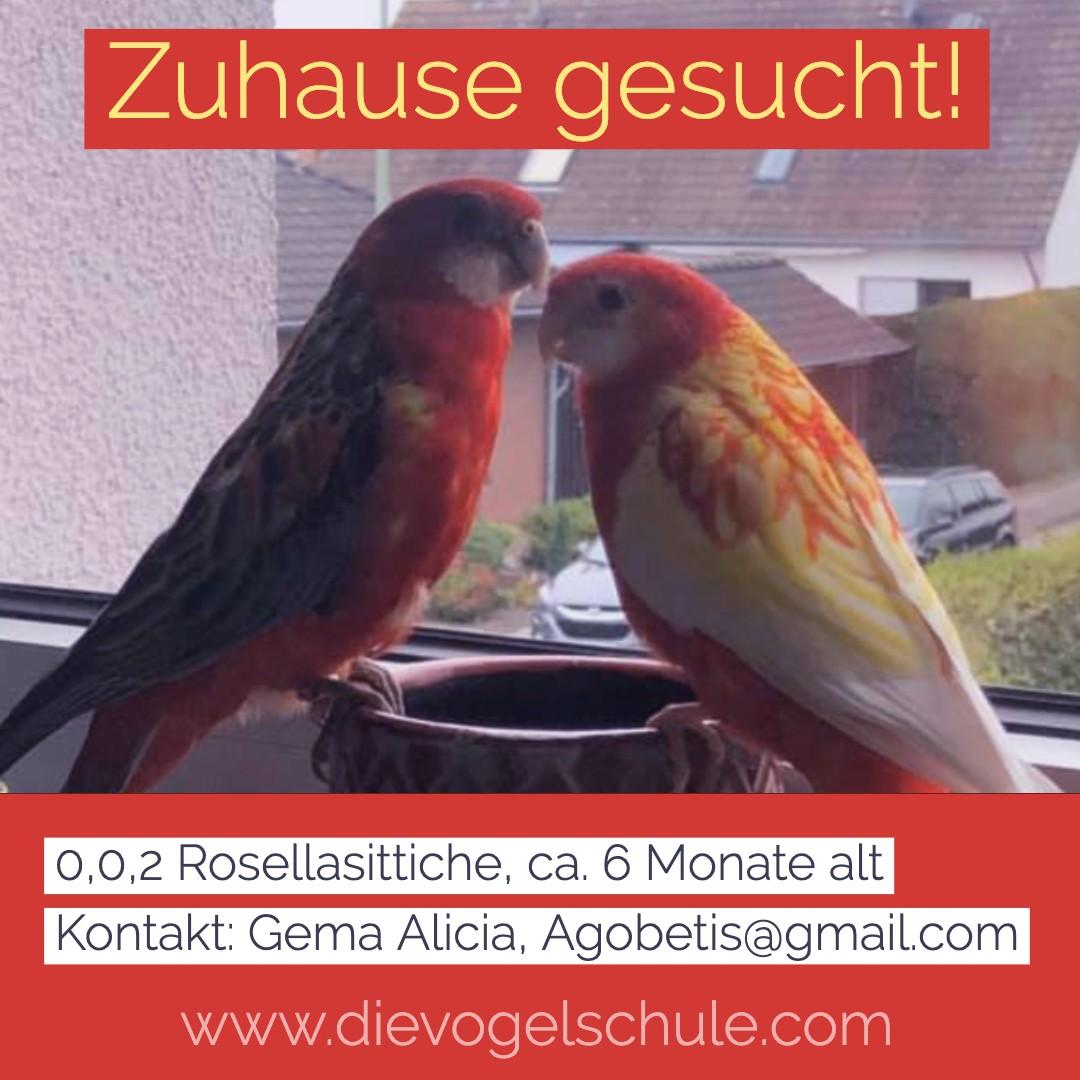 ZUHAUSE GESUCHT 0,0,2 Rosellasittiche