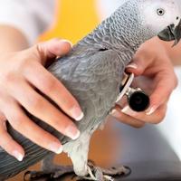 Vogeltierarzt untersucht Graupapagei