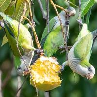 Mango gesund Papageien & Sittiche FIMG