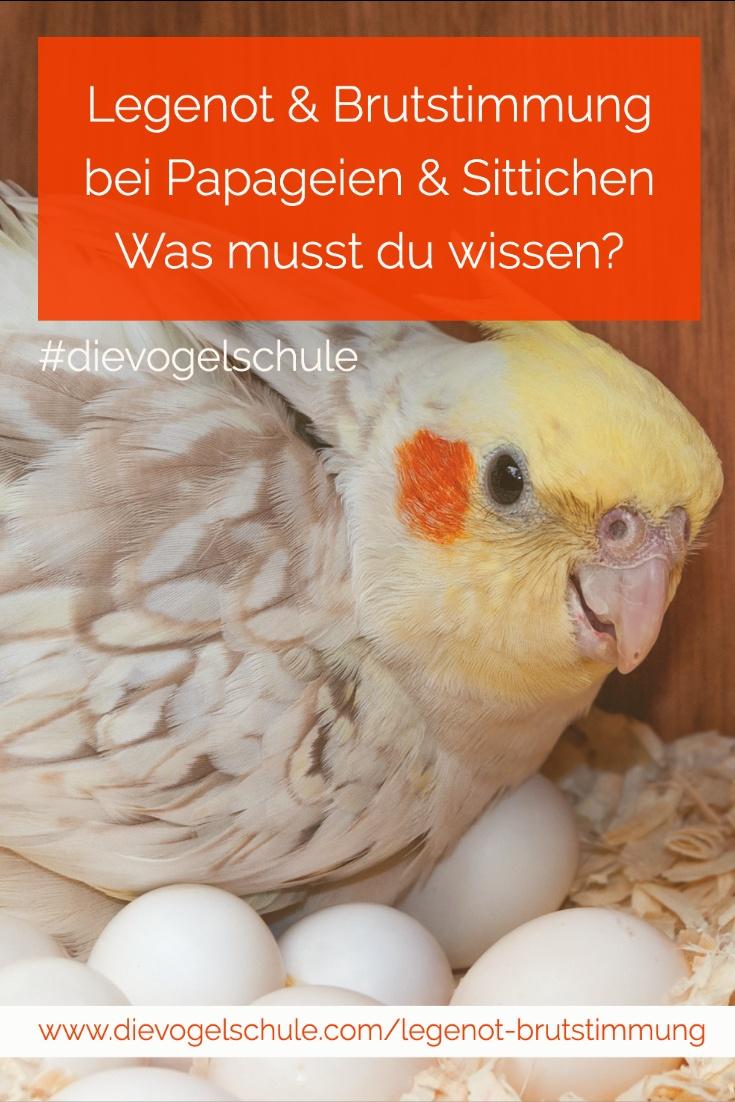 Legenot & Brutstimmung bei Papageien & Sittichen - Nymphensittich mit Eiern