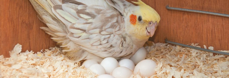 Legenot & Brutstimmung bei Papageien & Sittichen WP