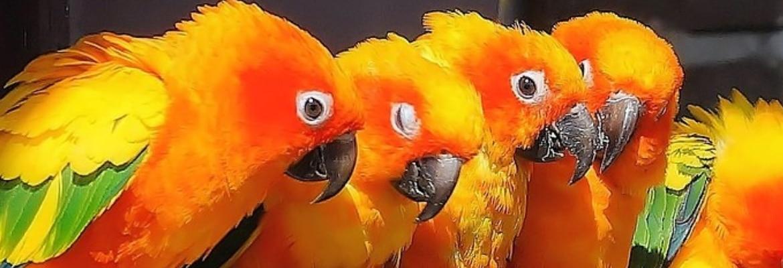 Vogelkaefige Sonnen-Sittiche Papageien