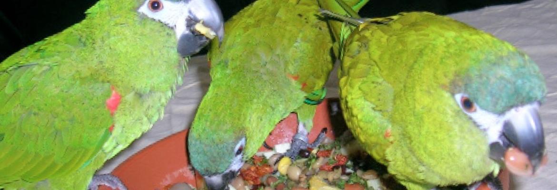 Papageienfutter Zwergaras