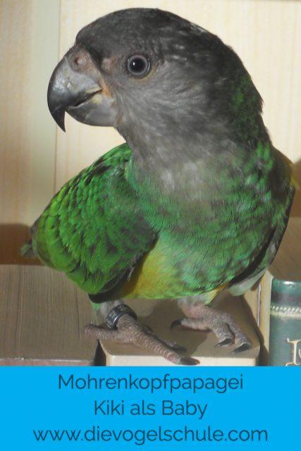 Mohrenkopf-Papagei Baby