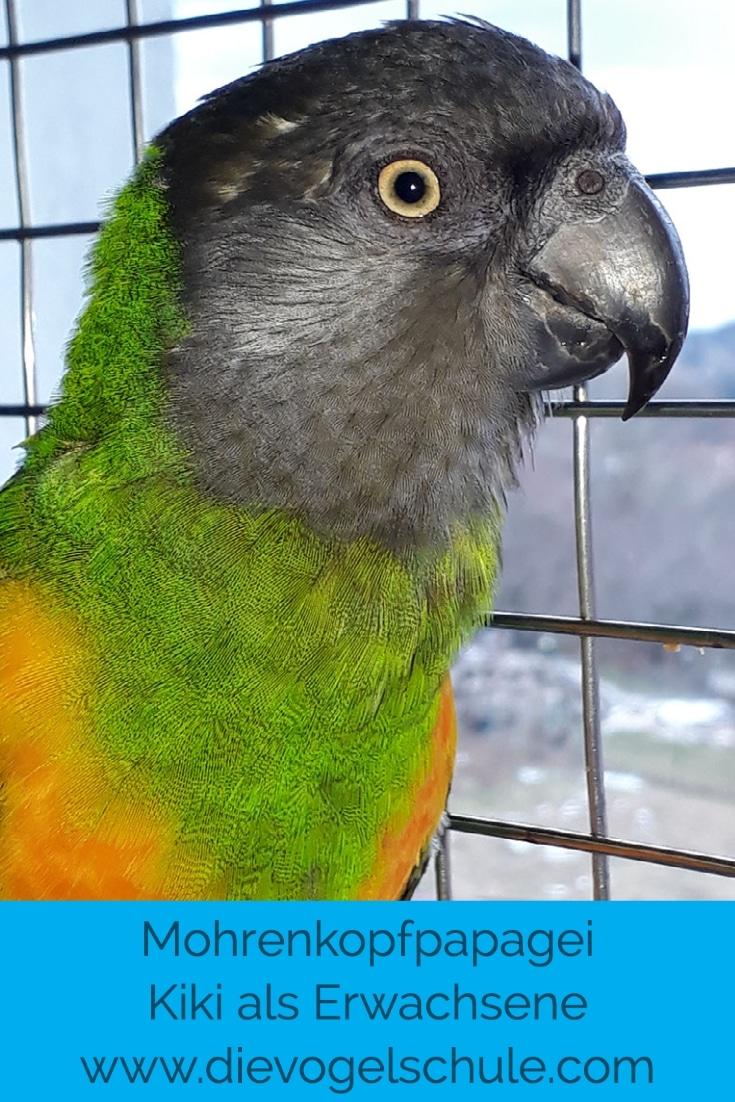 Mohrenkopf-Papagei erwachsen