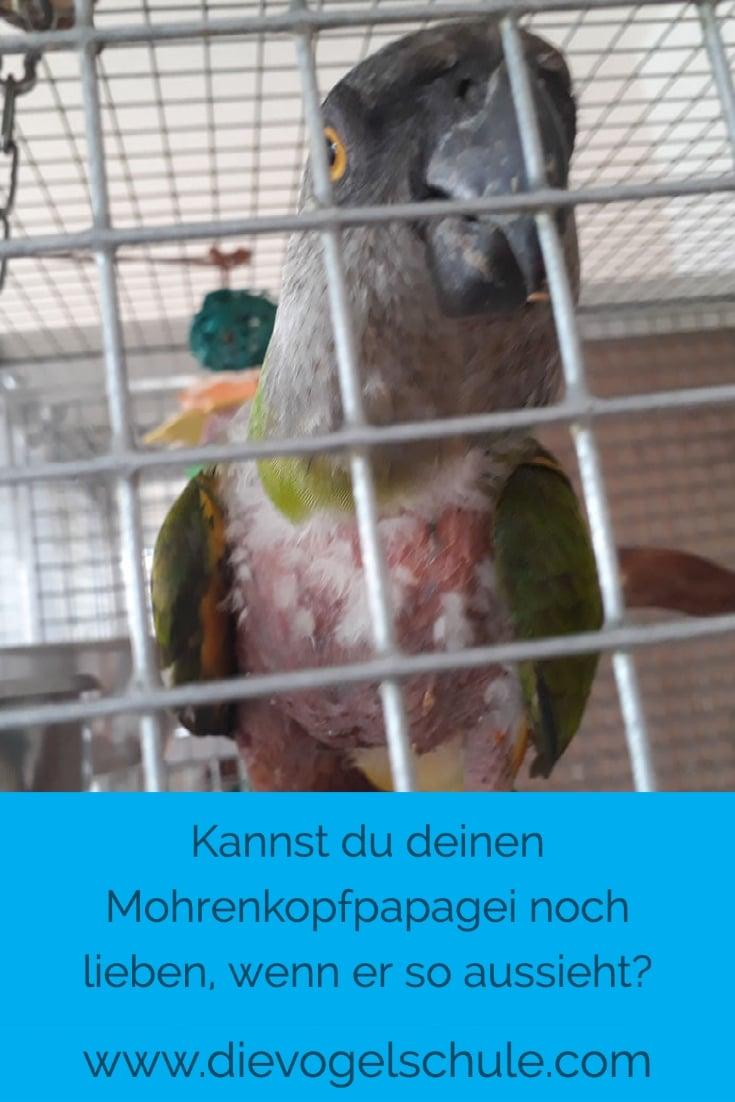 Mohrenkopf-Papagei rupft