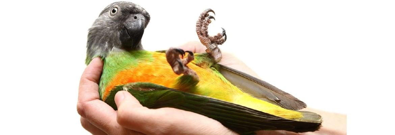 Mohrenkopf-Papagei