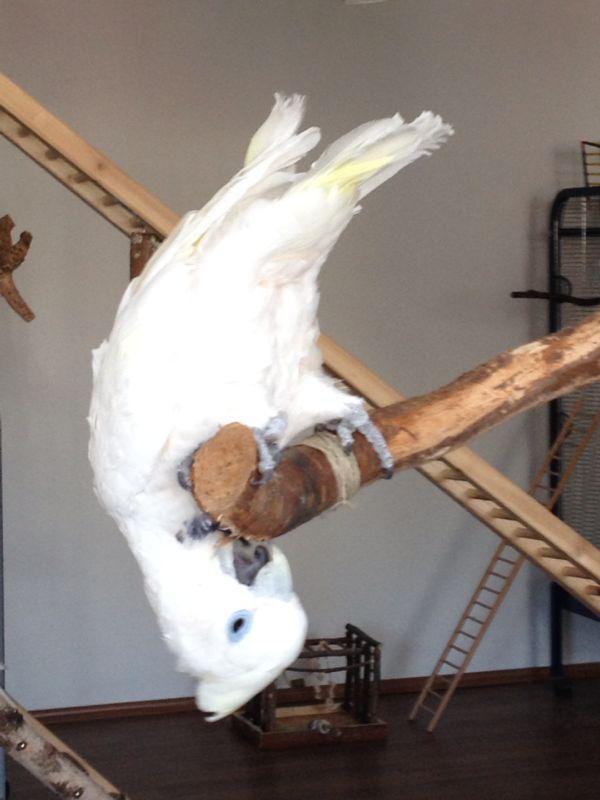 Kakadu Paul schreit und beißt
