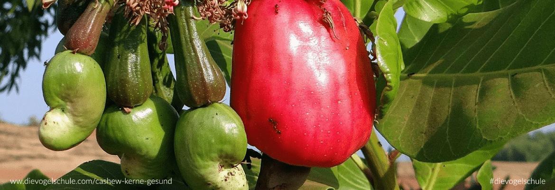 Sind Cashew-Kerne gesund für Papageien & Sittiche?