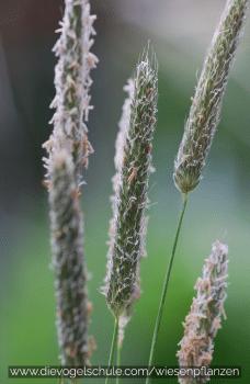 Lieschgras - Gräser für Papageien und Sittiche