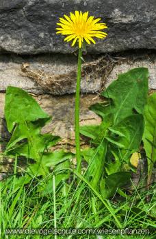 Wiesenpflanzen - Löwenzahn - Taraxacum