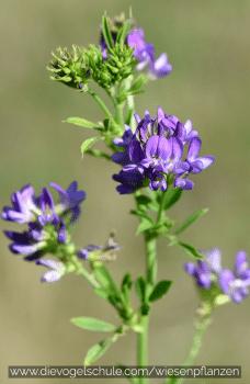 Wiesenpflanzen - Luzerne - Medicago sativa