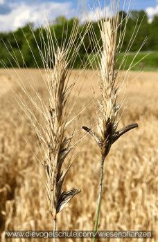 Wiesenpflanzen - Mutterkorn - Gefahr bei Gräsern Secale cornutum