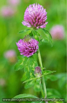Wiesenpflanzen - Klee - Kleeblatt - Trifolium