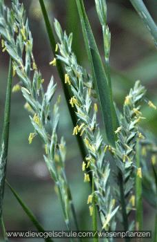 Wiesenpflanzen - Weidelgras - Lolium Perenne  - Gräser für Papageien und Sittiche