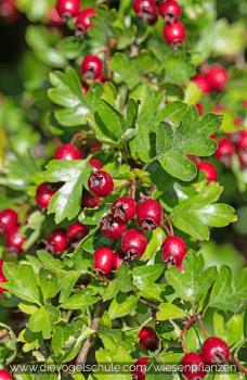 Wiesenpflanzen - Weissdorn - Crataegus oxyacantha