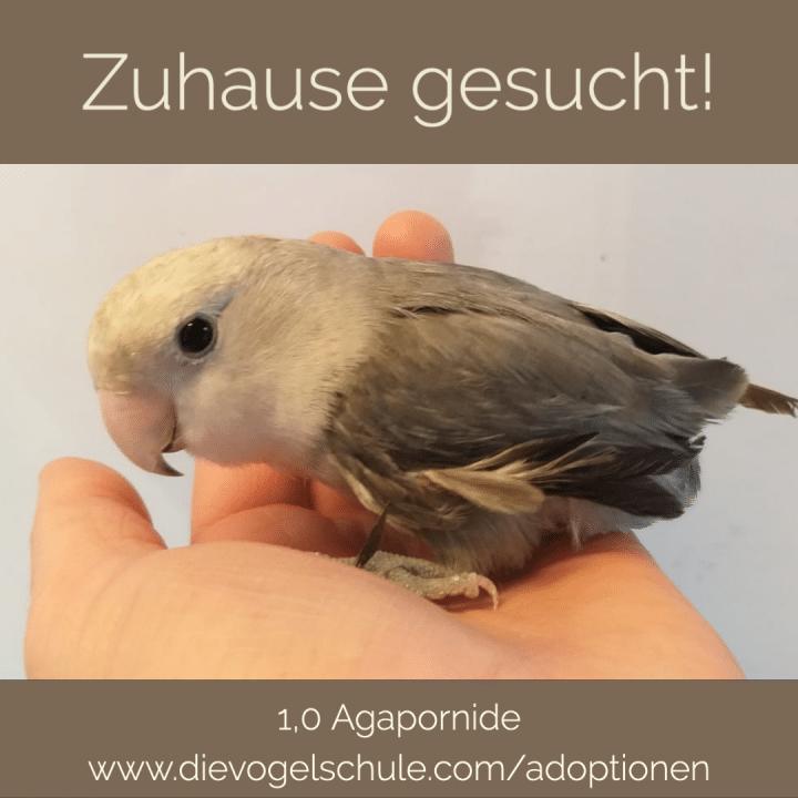 Agapornide kaufen Hahn