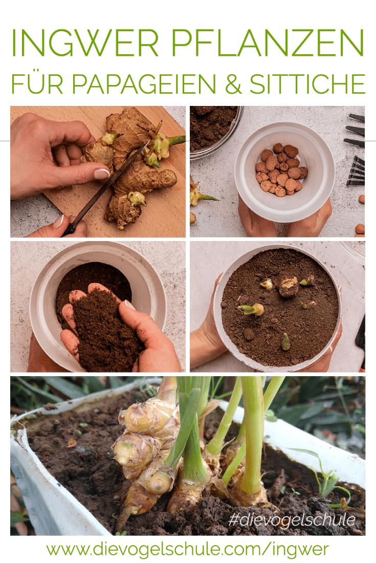 Ingwer-Pflanzen für Papageienfutter