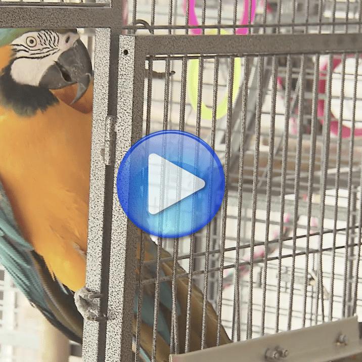 Aggressive Aras Wiegen | Papageientraining